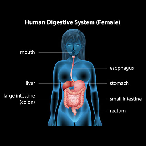 human-digestive-system-constipation-doctor-chennai